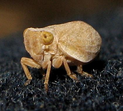 Fulgoroidea ID request - Agalmatium bilobum
