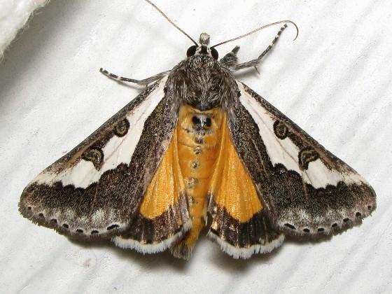 Purslane Moth - Hodges # 9307 - Euscirrhopterus gloveri