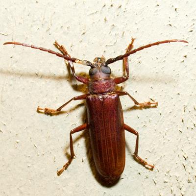 Brown Prionid Beetle - Orthosoma brunneum