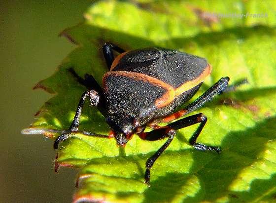 black and red orange stink bug largus californicus bugguide net. Black Bedroom Furniture Sets. Home Design Ideas
