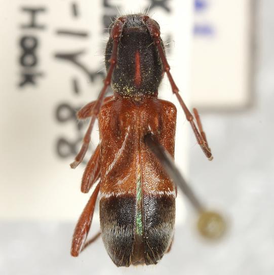 Cyrtophorus  verrucosus (Olivier)  - Cyrtophorus verrucosus