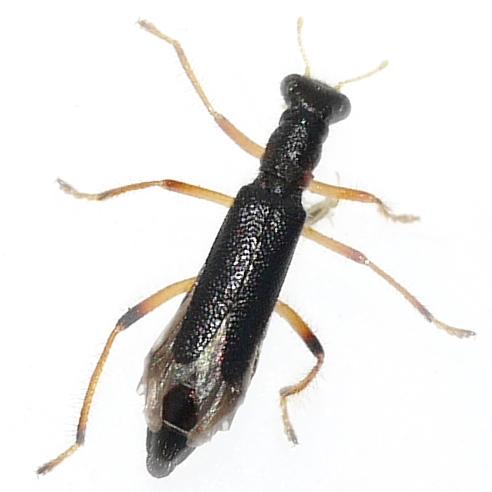 beetle - Isohydnocera tabida