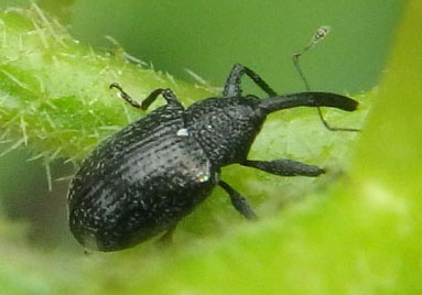 small black weevil - Anthonomus