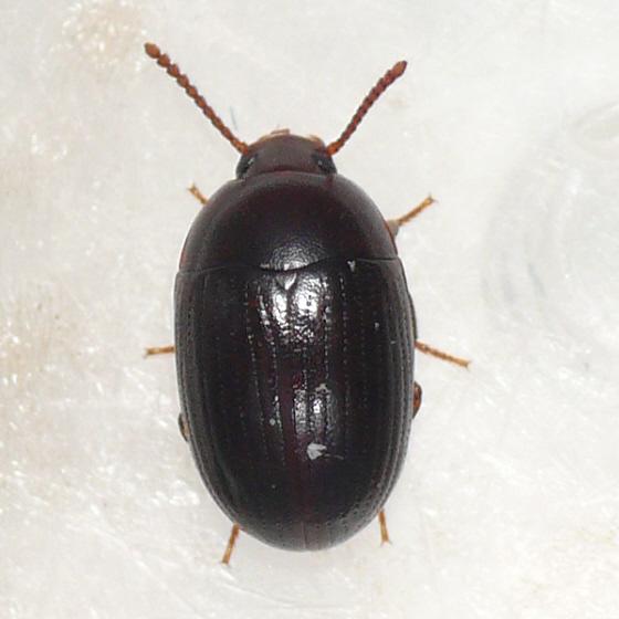 Darkling beetle (Platydema ?) - Platydema micans