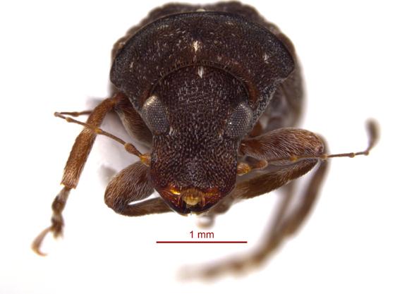Anthribidae 2 - Piesocorynus mixtus