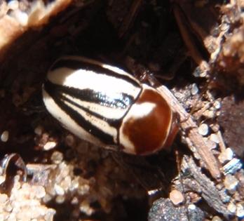 On silky prairie clover - Cryptocephalus venustus