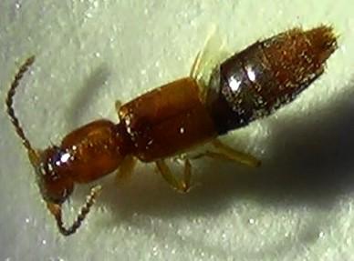 Rove Beetle - shiny