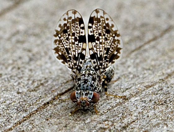 Fly - Callopistromyia annulipes