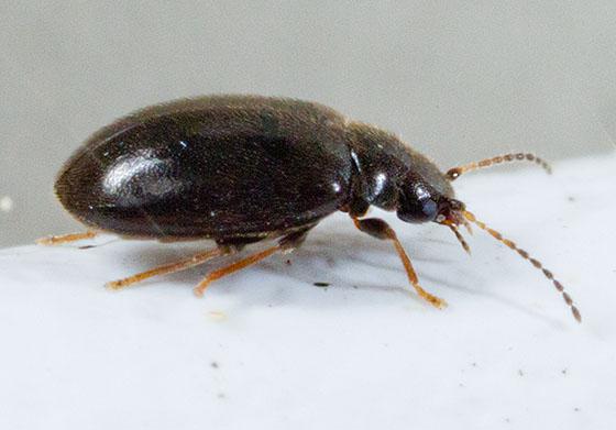 Small Dark Beetle - Nyholmia confusa