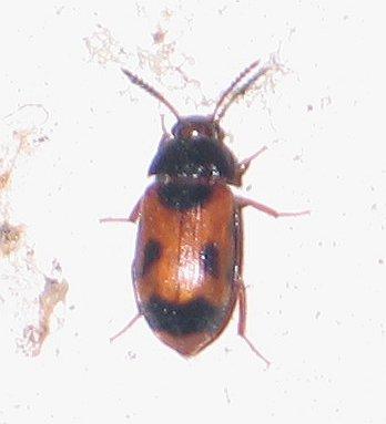 black-spotted brown beetle - Mycetophagus punctatus