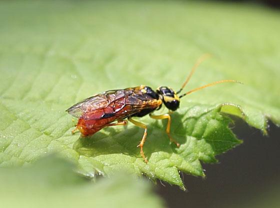 Sawfly - Onycholyda luteicornis