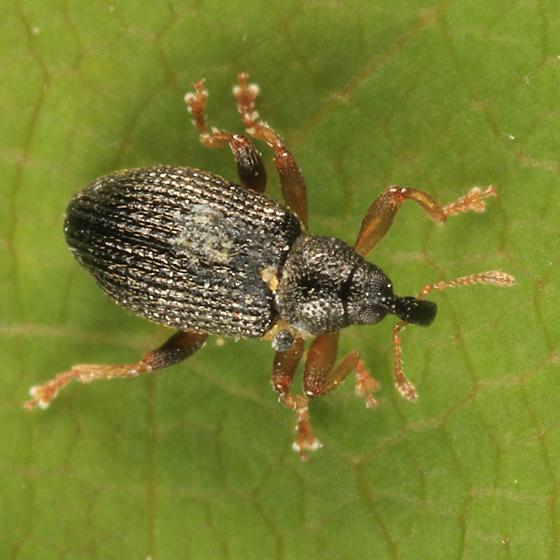 weevil - Isochnus sequensi