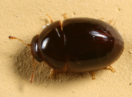 Shining Flower Beetle - Acylomus
