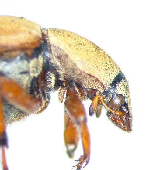 Macrodactylus subspinosus - male