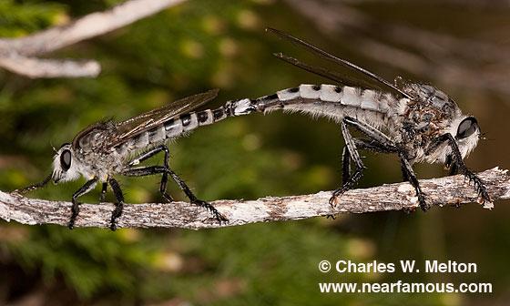 Promachus nigrialbus? - male - female