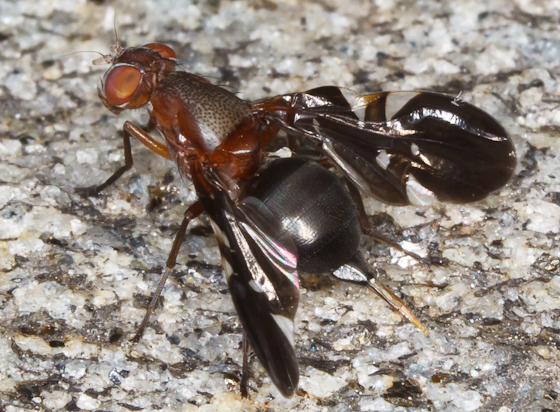 Fly With Large Mouthparts, patterned wings, and prominent Ovipositor - Delphinia picta