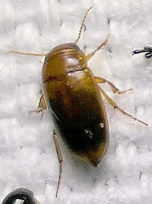 water beetle - Celina