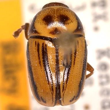 Cryptocephalus australobispinus E. Riley & Gilbert - Cryptocephalus australobispinus