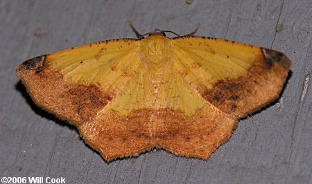Variable Antepione Moth - Antepione thisoaria