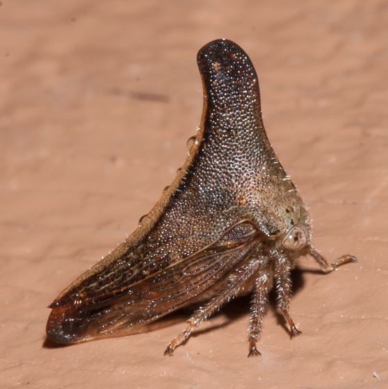 Unknown treehopper - Glossonotus turriculatus