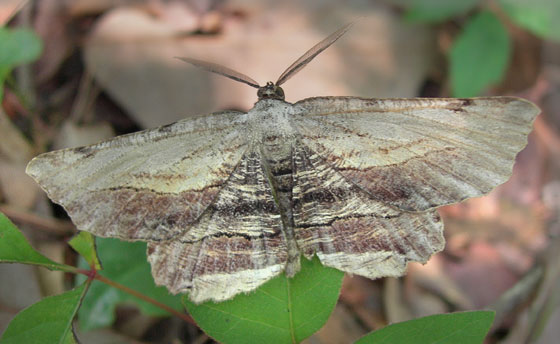 Moth 1 - Lytrosis unitaria