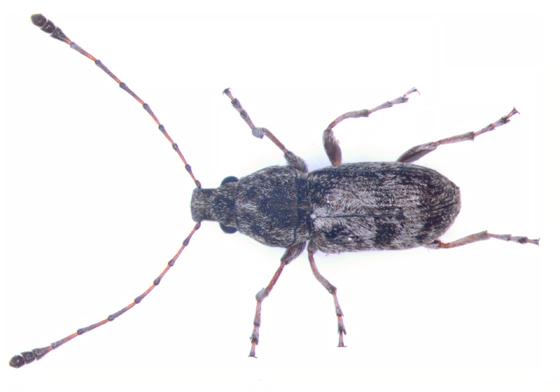 Anthribidae, dorsal - Allandrus bifasciatus - male