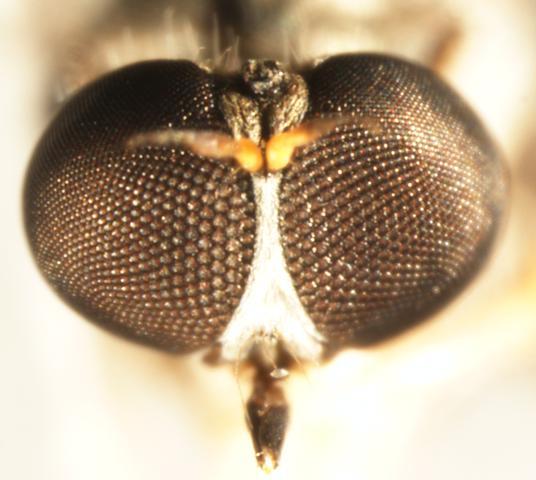Asilidae: Leptogastrinae: Beameromyia? - Beameromyia