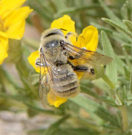Bee for ID - Diadasia enavata