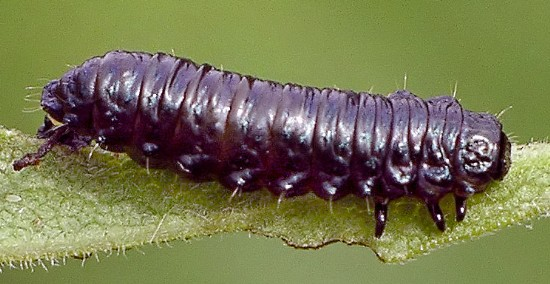 black larva - Trirhabda
