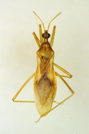 Pale assassin - Zeluroides americanus - male