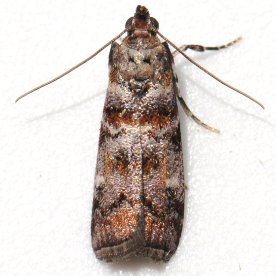 Moth - Dioryctria pygmaeella
