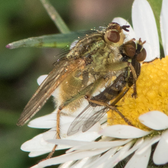 Scathophaga stercoraria ? with Syrphid fly prey - Scathophaga stercoraria