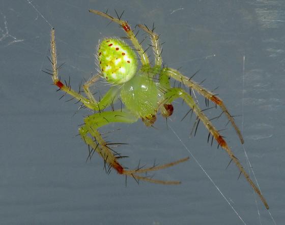 Green spider - Araneus cingulatus - male