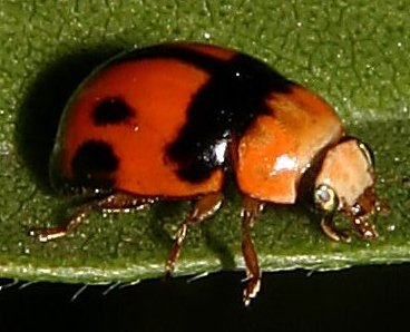Back and orange beetle - Brachiacantha tau