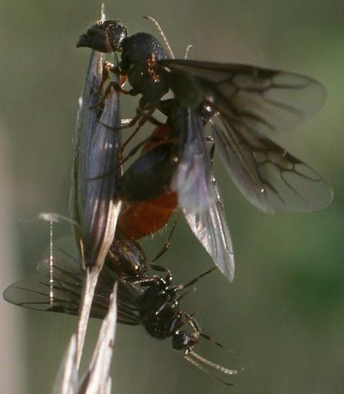 some play rough - Carebara longii - male - female