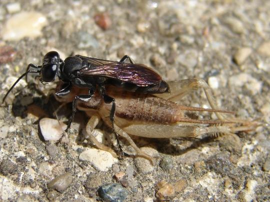 Wasp and Cricket - Liris argentatus