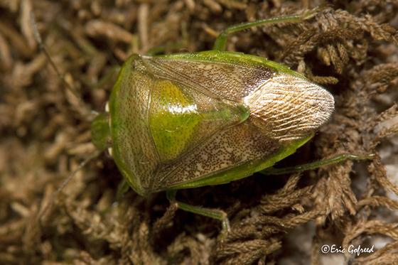 Green Stink Bug -  Banasa ? - Banasa packardii