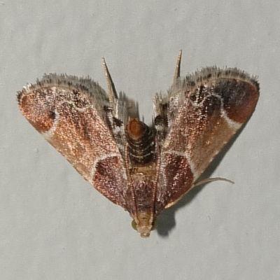 Moth on the wall - Pyralis farinalis