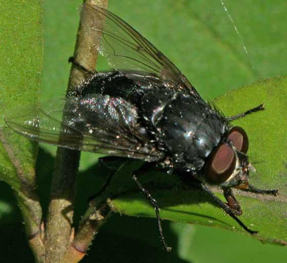 Blow Fly  - Calliphora vomitoria