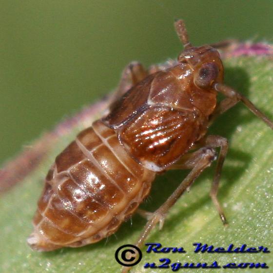 Another planthopper - Pissonotus piceus - female