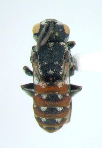 Bee - Holcopasites calliopsidis