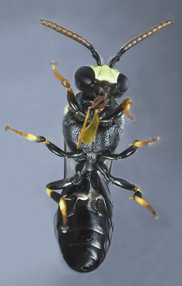Wasp - Hylaeus modestus - male