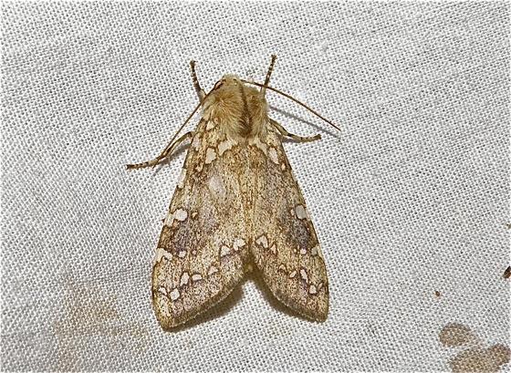 Tiger Moth - Hypocrisias minima - female