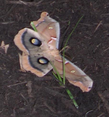 Antheraea polyphemus - Polyphemus Moth - Hodges#7757 - Antheraea polyphemus