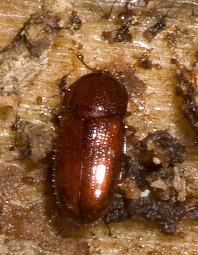 Under bark beetle - Philothermus glabriculus