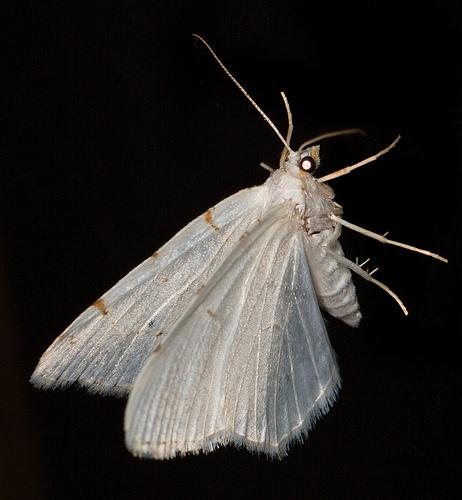 Lesser Maple Spanworm - Macaria pustularia