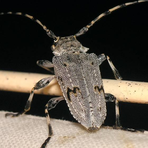 Longhorned Beetle -- P6173982 - Aegomorphus morrisii