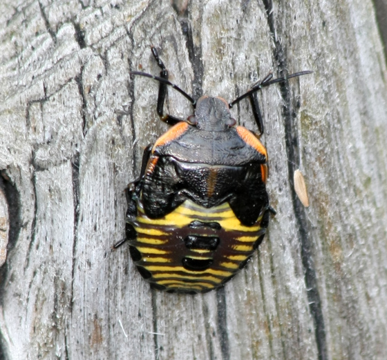 Green Stink Bug? - Chinavia hilaris