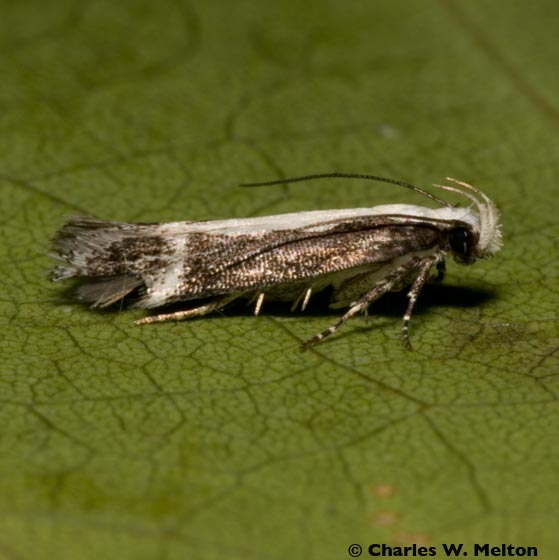Moth - Aroga unifasciella