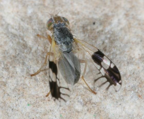 fly 120 - Trupanea nigricornis